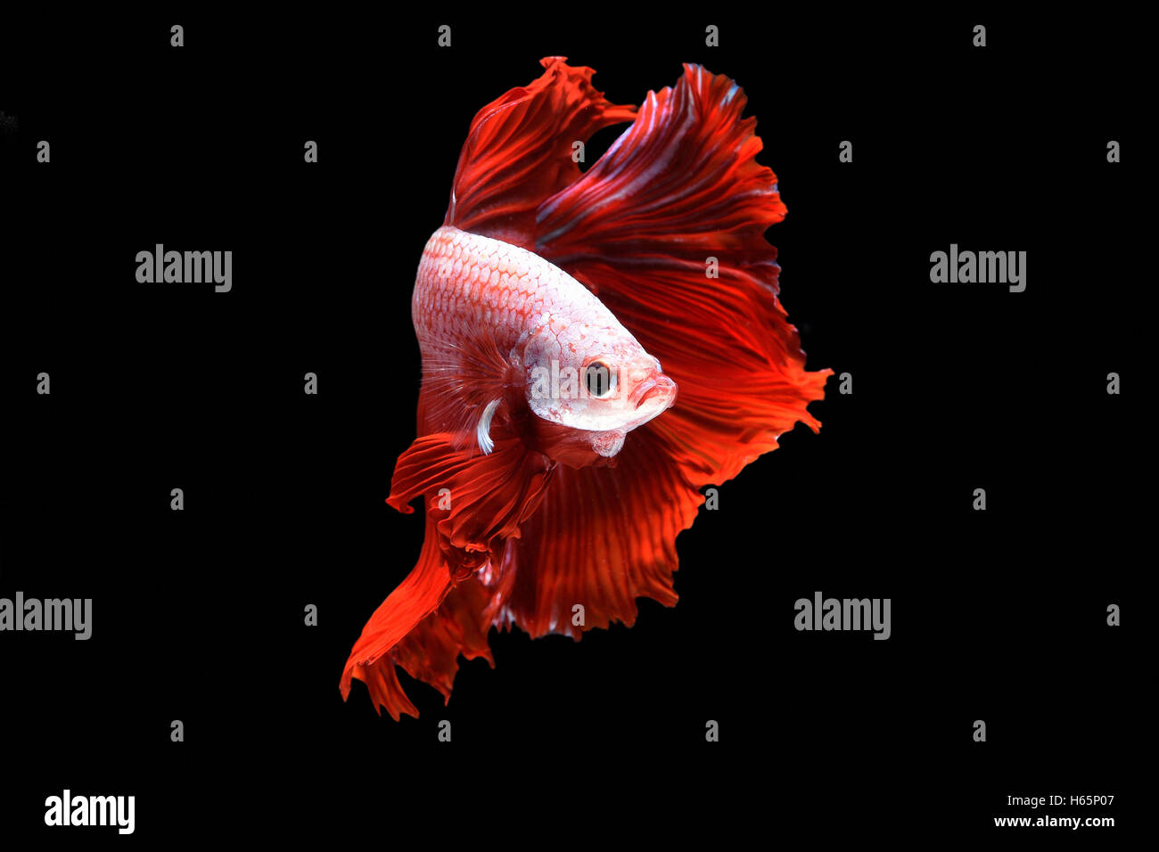 Colorful Betta Fish Isolated On Stock Photos & Colorful Betta Fish ...
