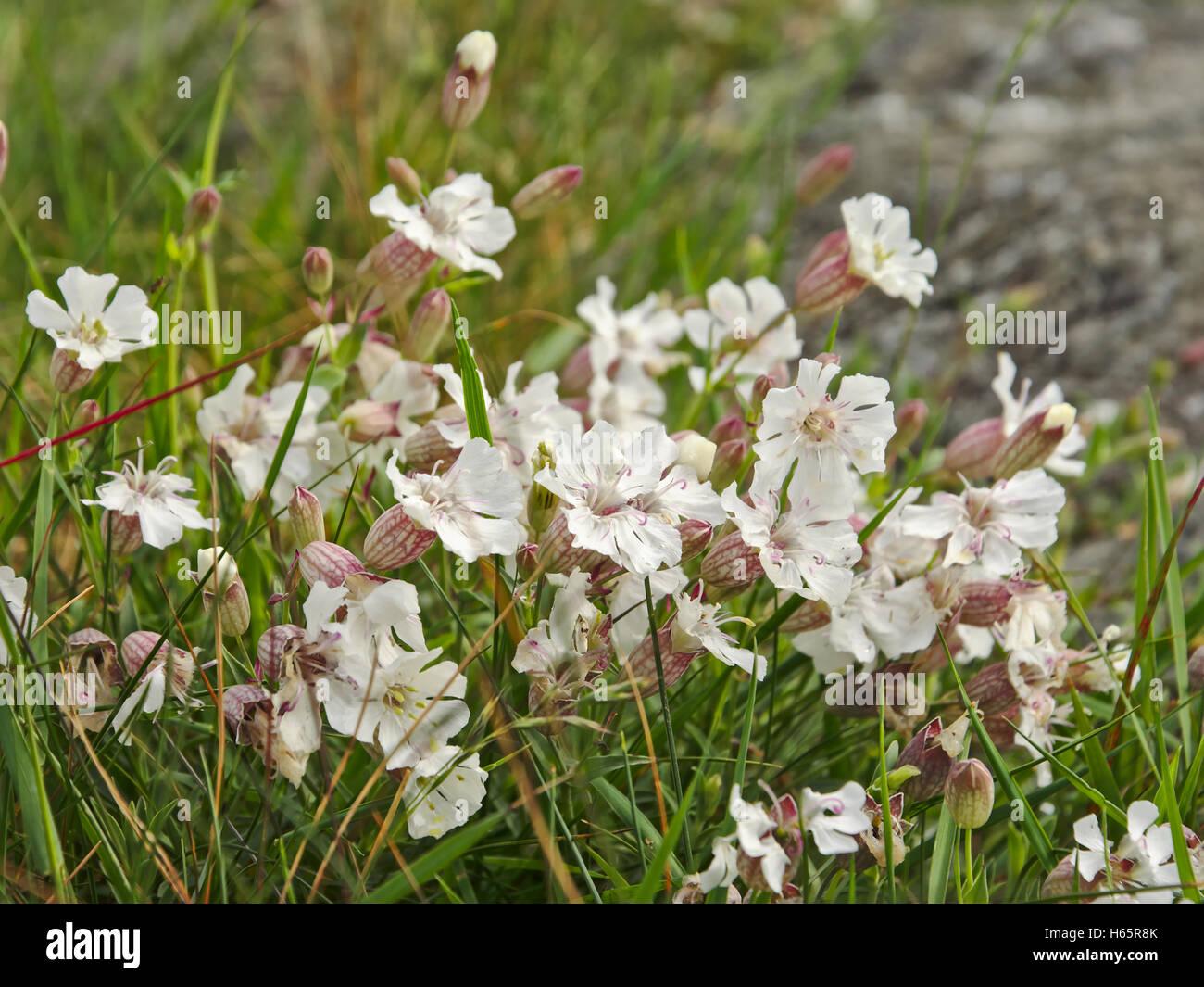 Small white mountain flowers stock photos small white mountain white mountian flowers stock image mightylinksfo