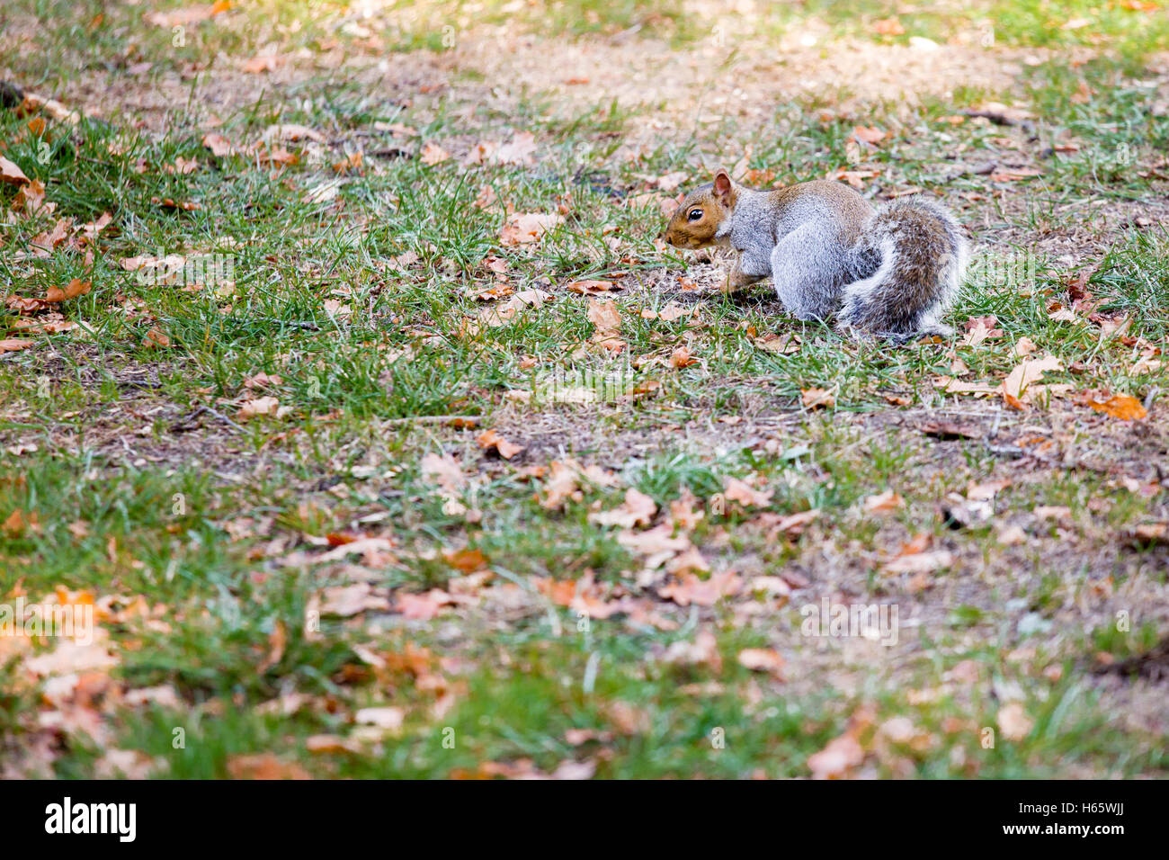A red grey/gray squirrel in a park during autumn - Stock Image