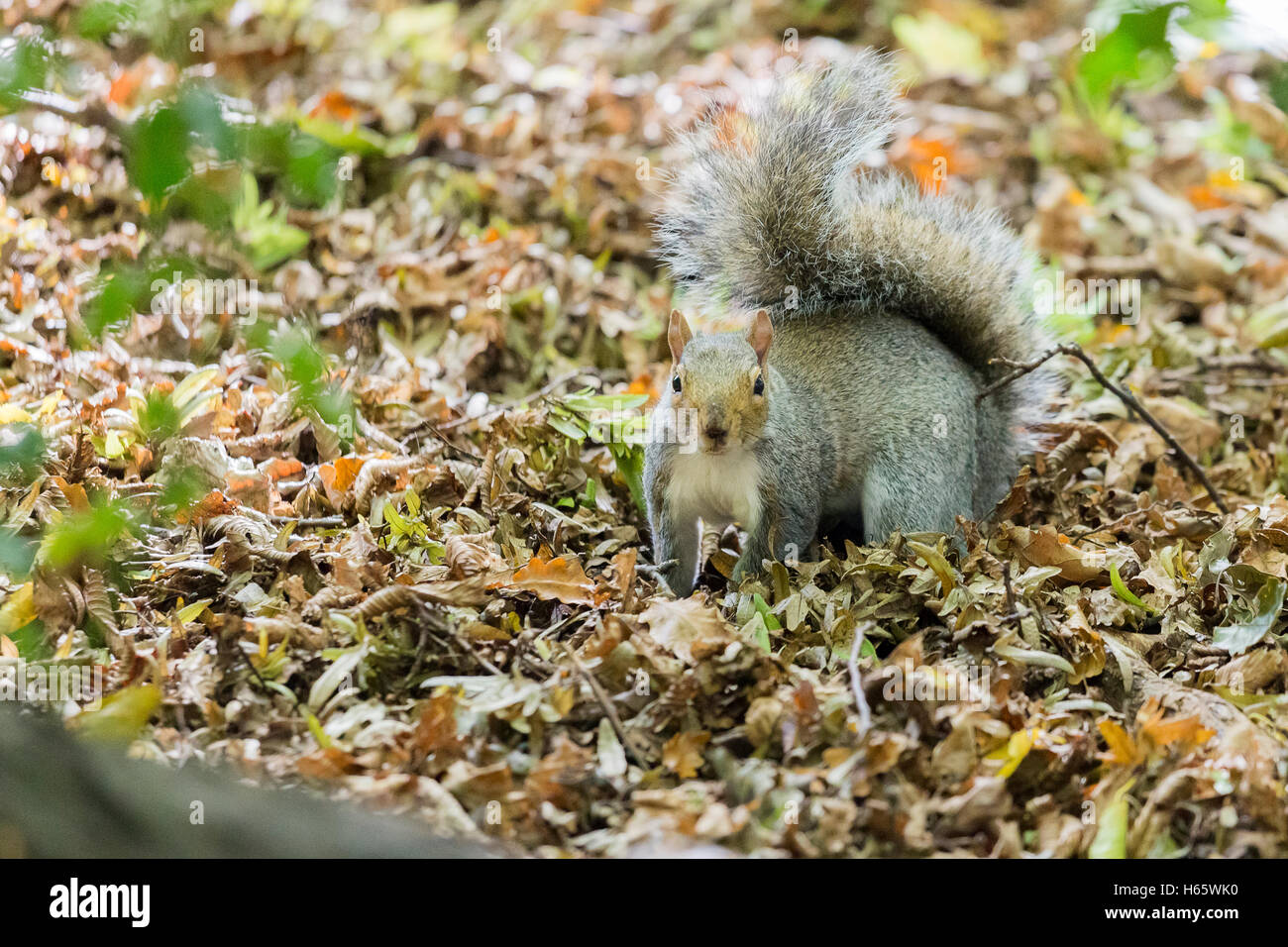 A grey/gray squirrel in a autumn park looks at the camera. - Stock Image