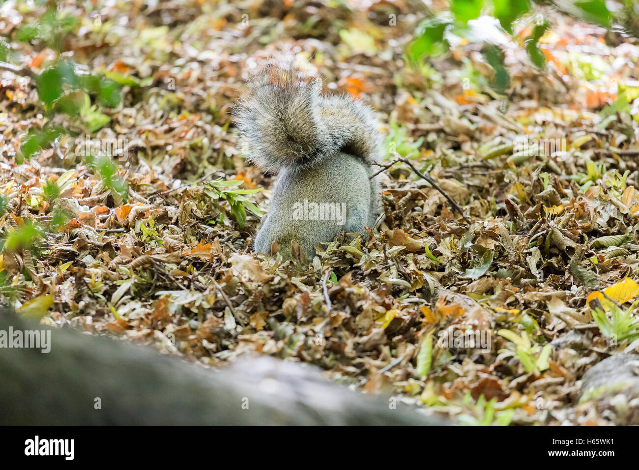 A grey/gray squirrel with head under the ground in a park in Autumn. - Stock Image