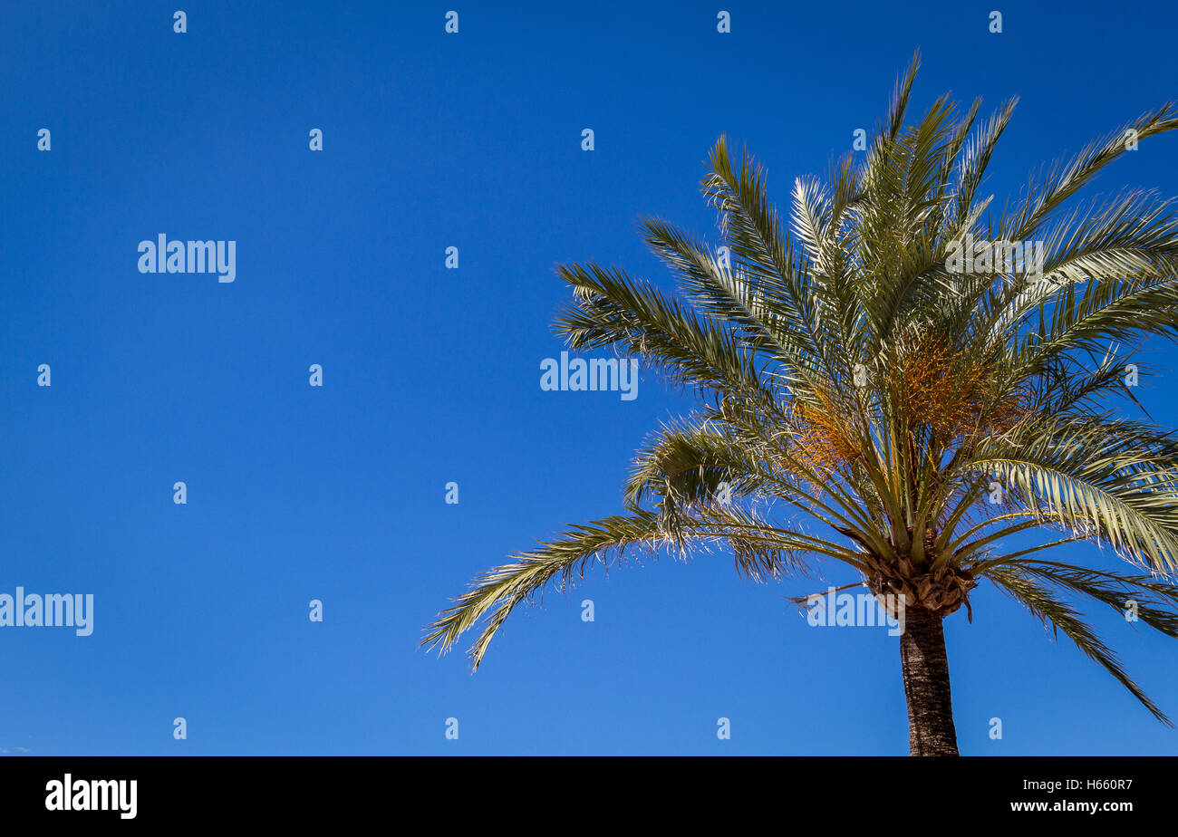 looking up at palm tree on clear vibrant blue sky - Stock Image