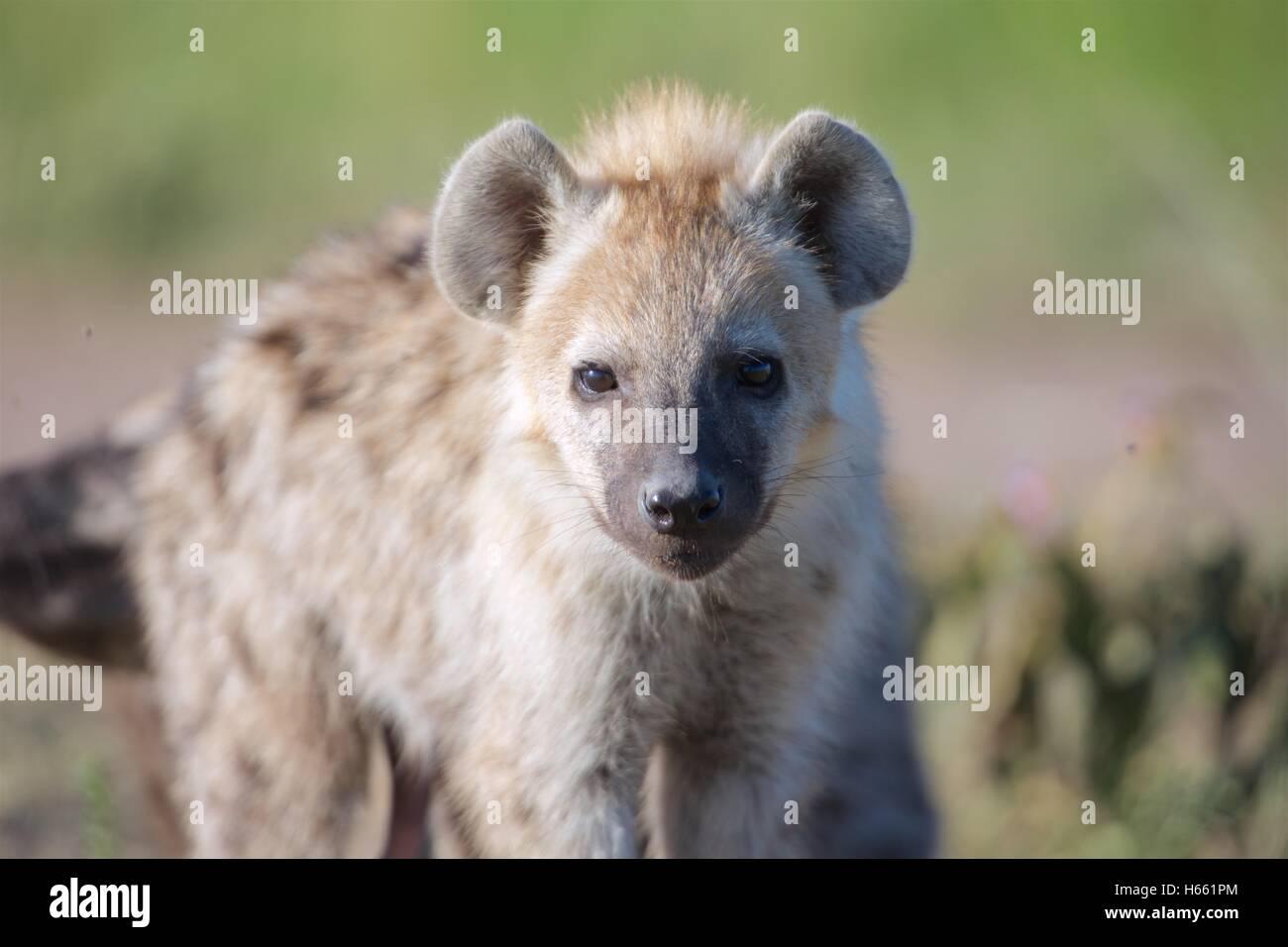 Young hyena on safari in Masai Mara, Kenya. - Stock Image