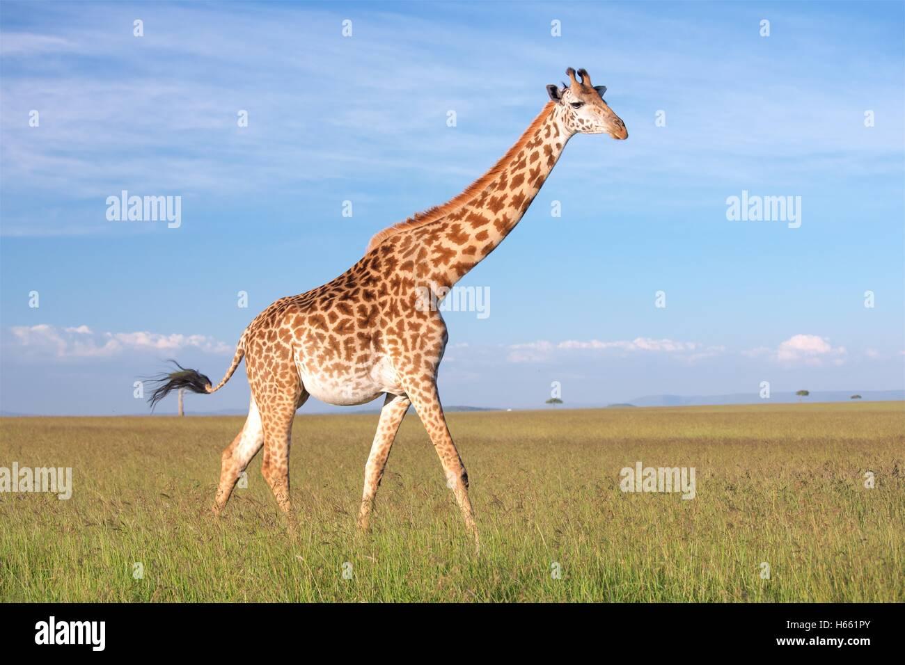 Giraffe on the savannah on safari in Masai Mara, Kenya. - Stock Image