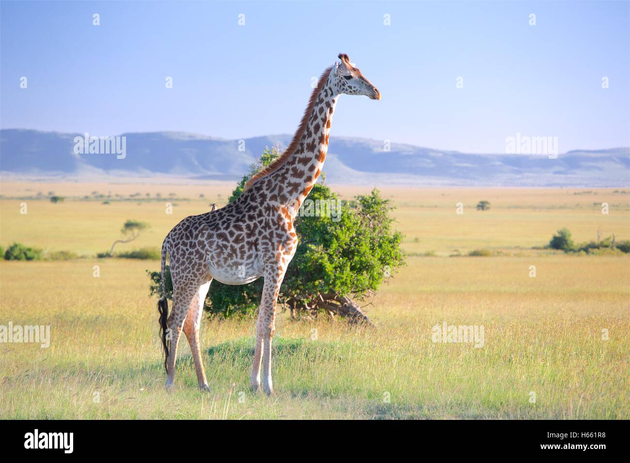 Giraffe on the savannah on safari in Masai Mara, Kenya. - Stock Image