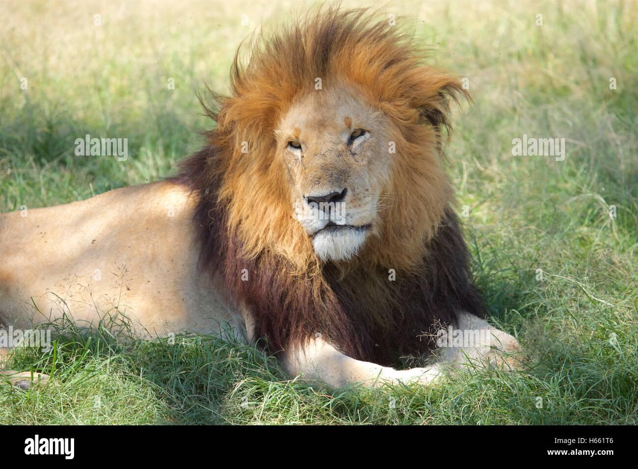 Wild male lion on safari in Masai Mara, Kenya. - Stock Image