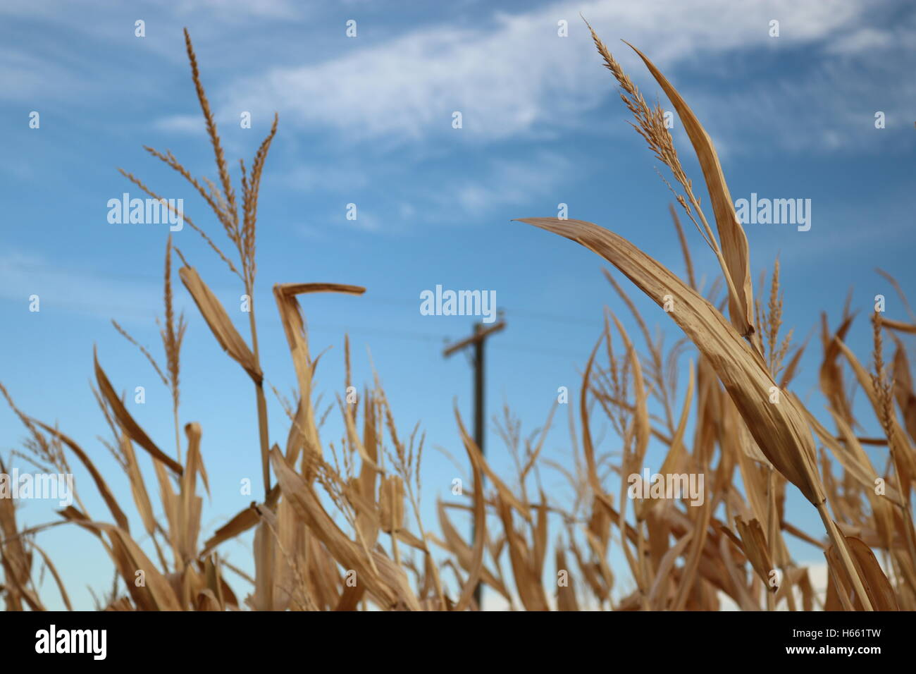 Corn stalk tops against a power pole in the background with blue sky and clouds. - Stock Image