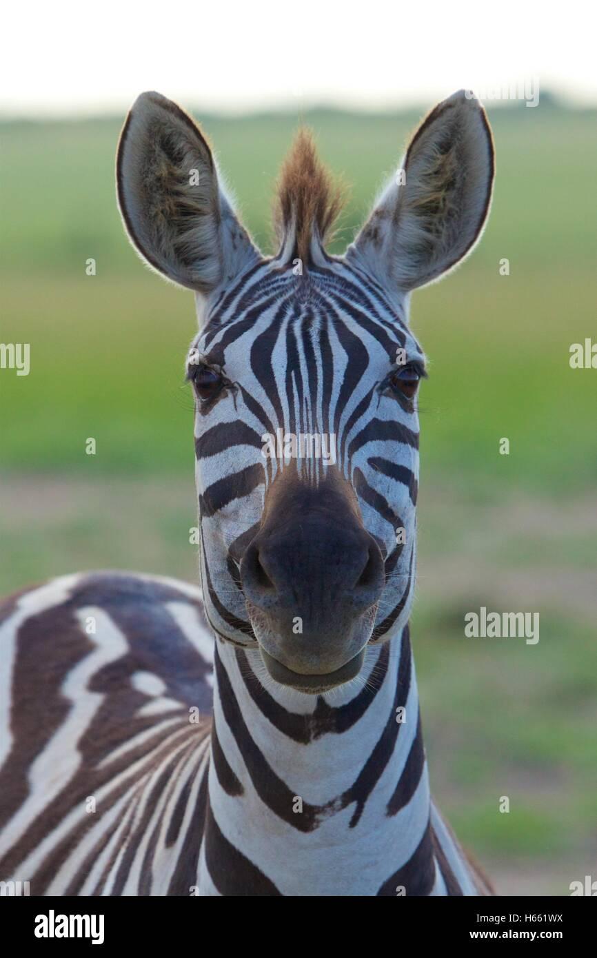Funny zebra closeup on safari in Masai Mara, Kenya. - Stock Image