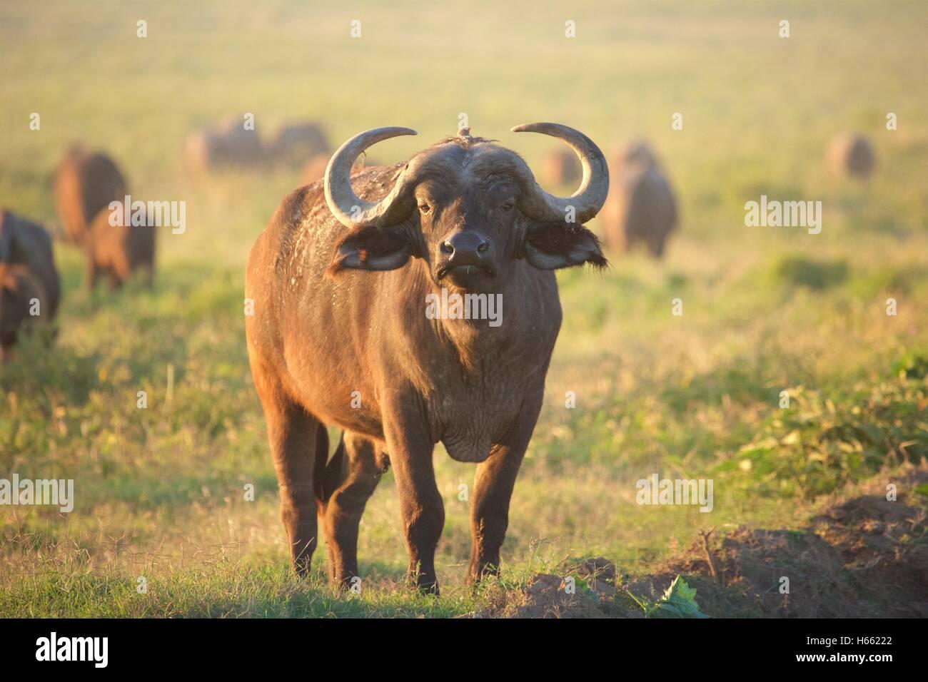 Viewing wild buffalo at sunrise at Lake Nakuru National Park, Kenya - Stock Image