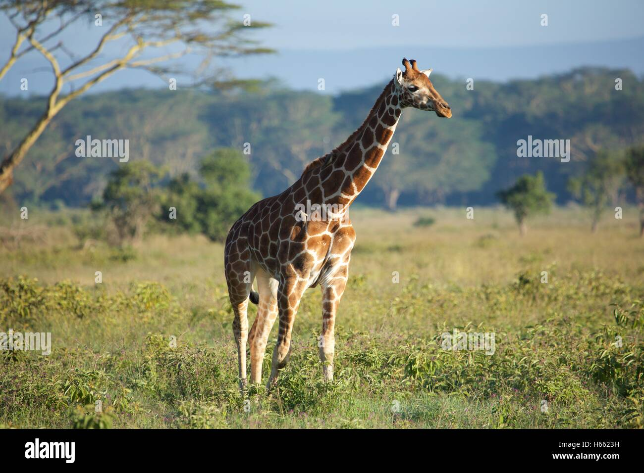 Viewing wild Rothschild giraffe on safari in Lake Nakuru, Kenya - Stock Image