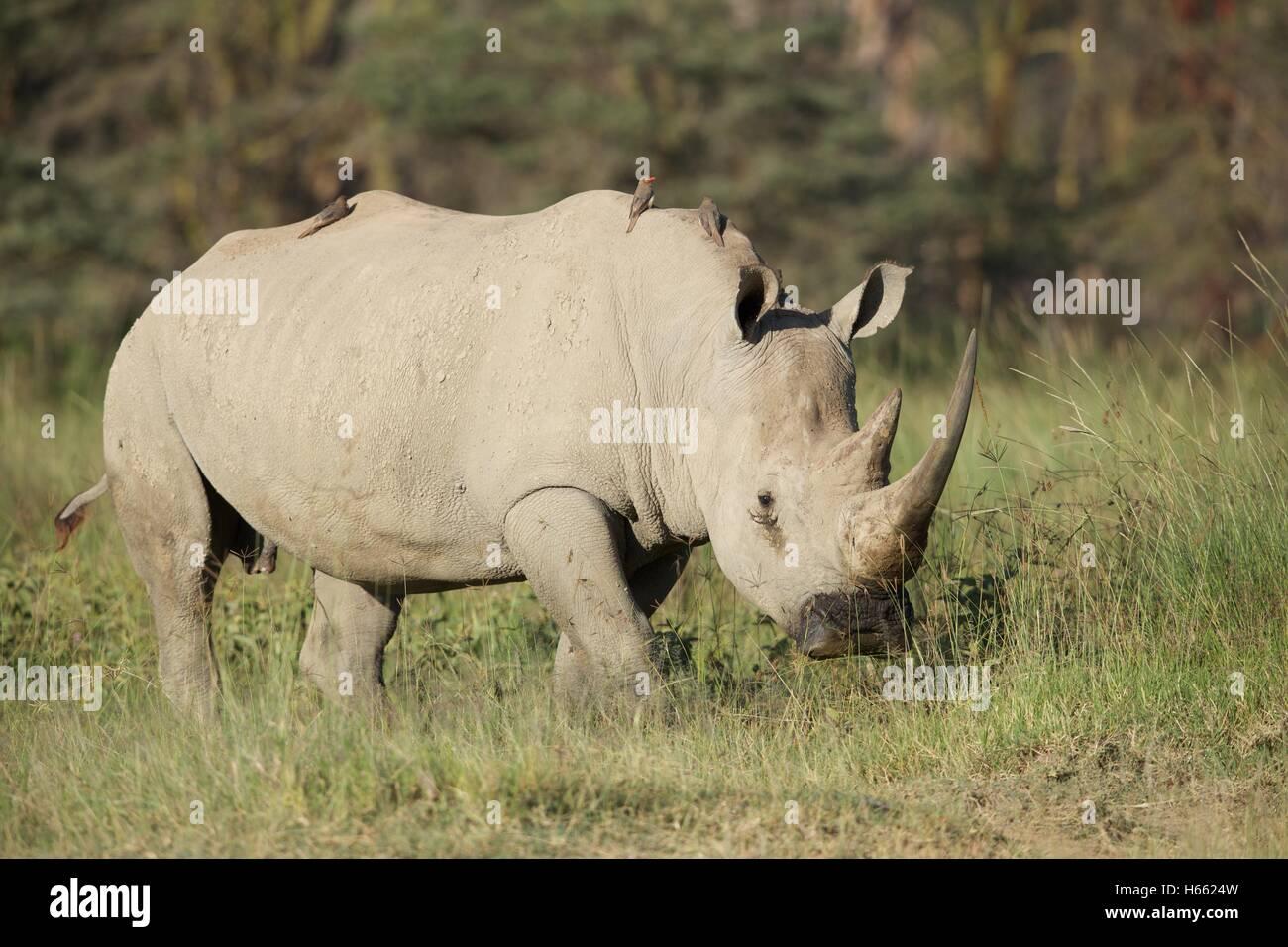 An endangered white rhino viewed on safari in Lake Nakuru, Kenya Stock Photo