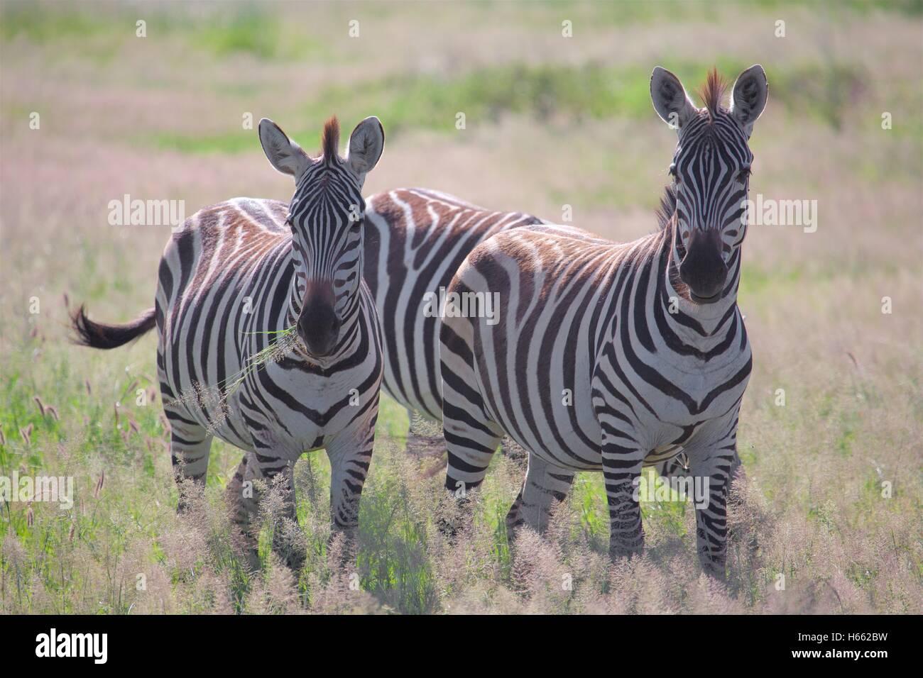 A pair of zebra grazing on safari in Amboseli National Park, Kenya. Stock Photo