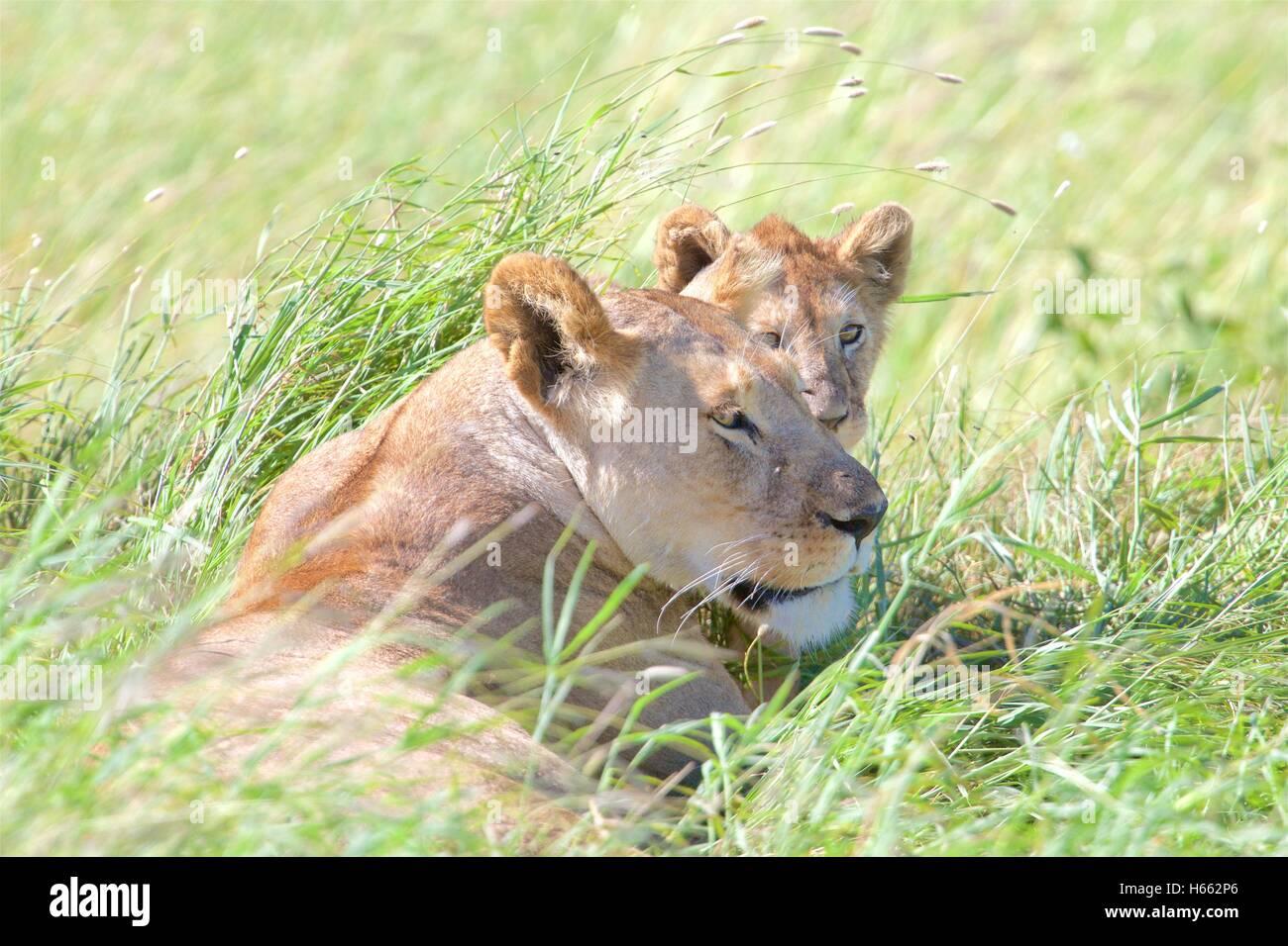 On safari in Serengeti National Park, Tanzania. - Stock Image