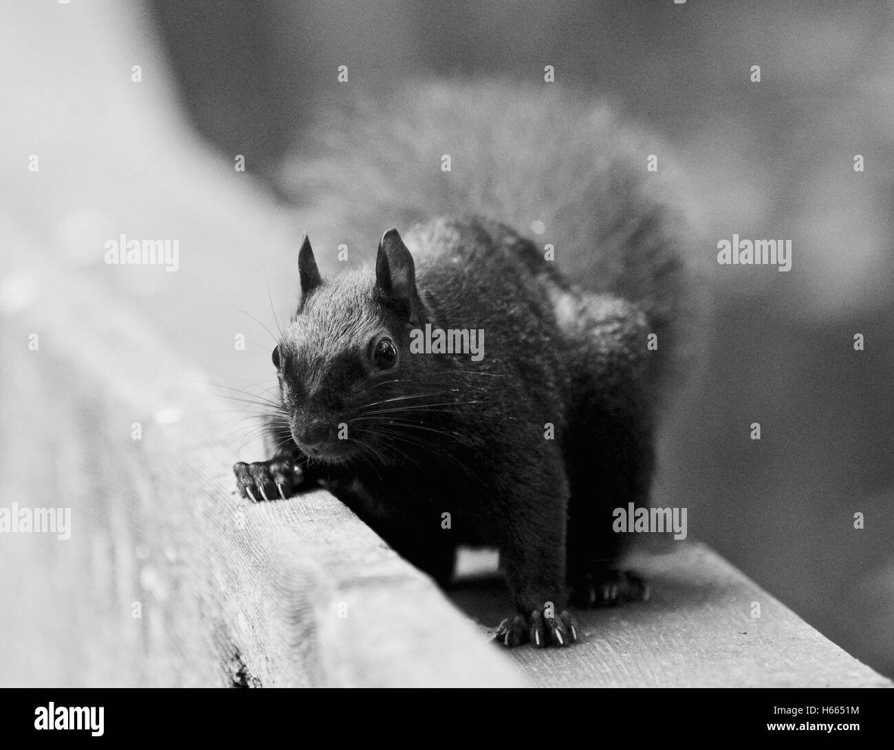 Beautiful black and white image with a cute funny squirrel looking for something Stock Photo
