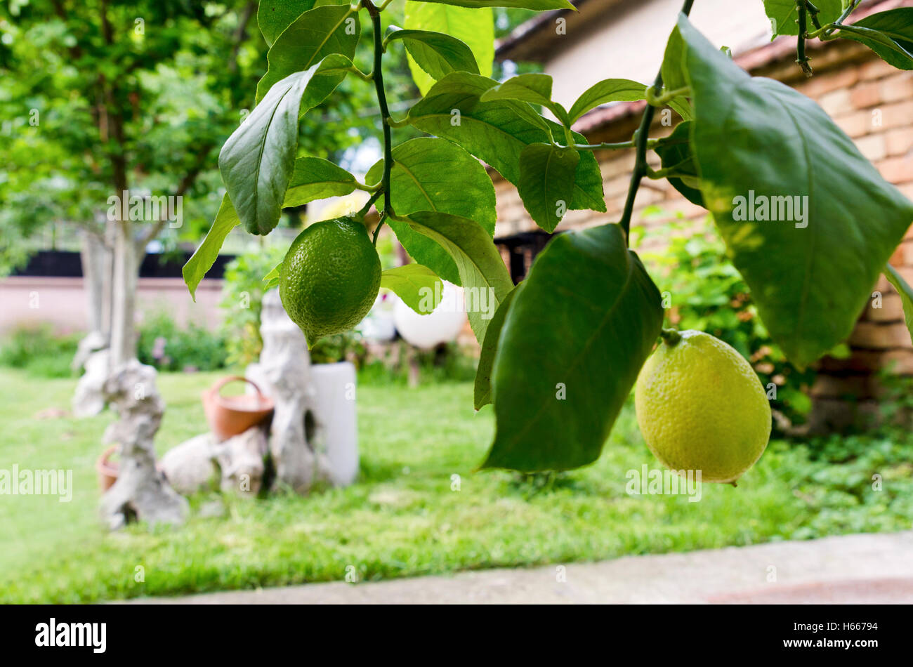 Backyard and two lemons in a pot - Stock Image