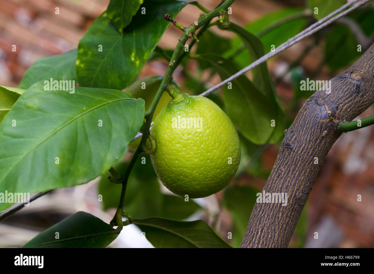 Home lemon tree - Stock Image