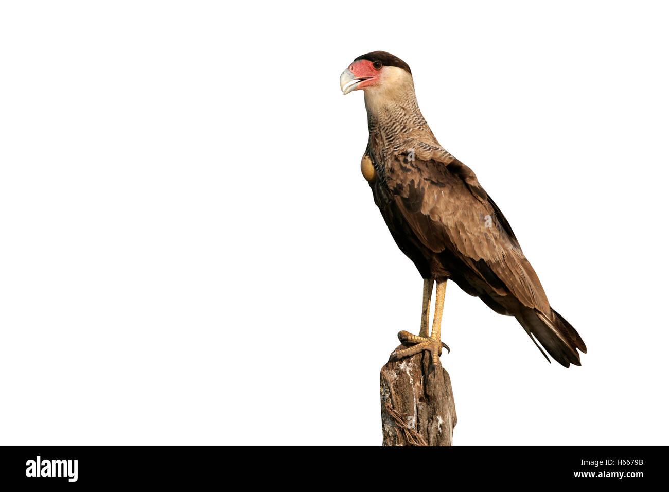 Crested caracara, Caracara cheriway, single bird on post, Brazil - Stock Image
