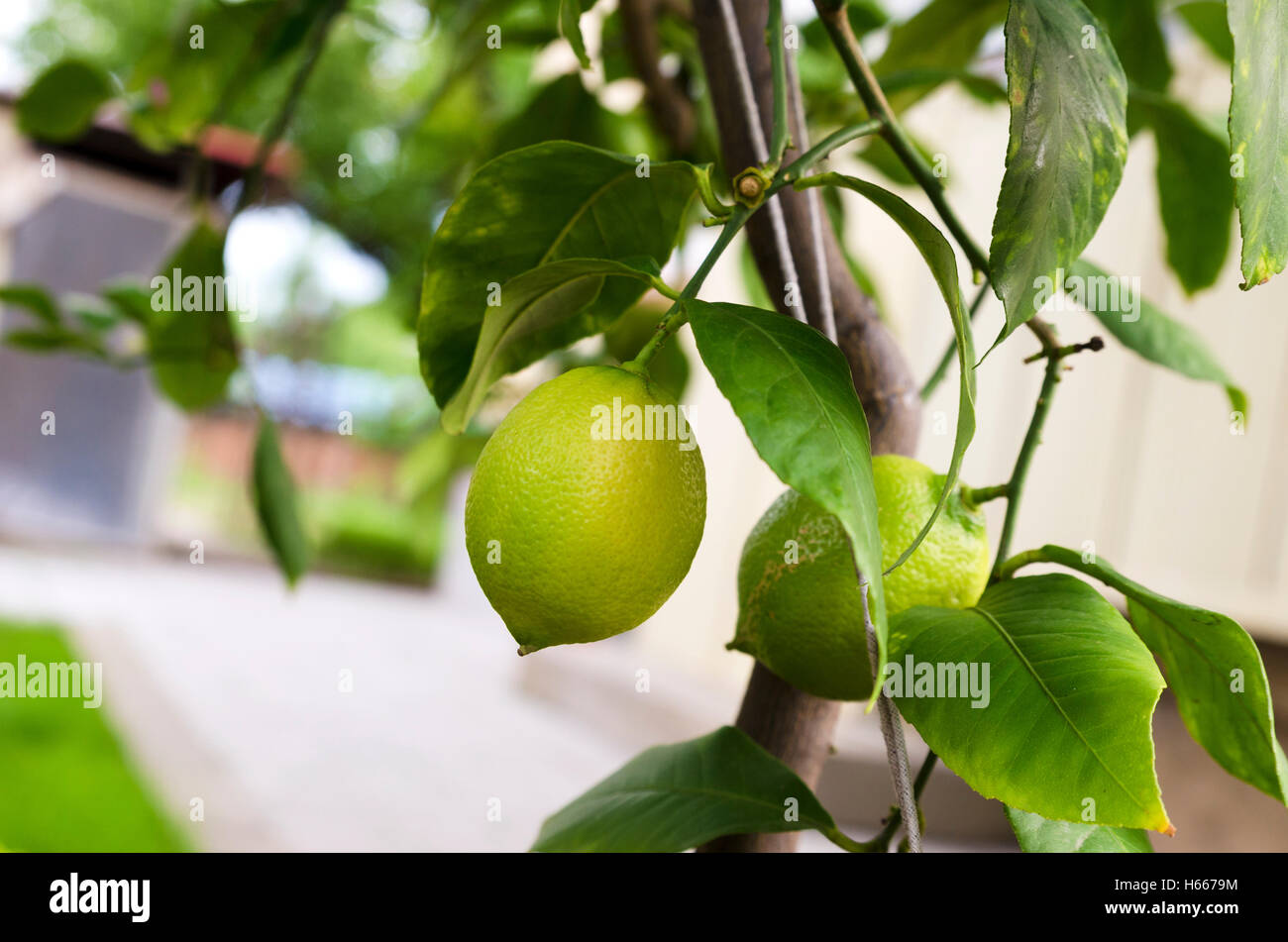 Lemon tree in a backyard - Stock Image