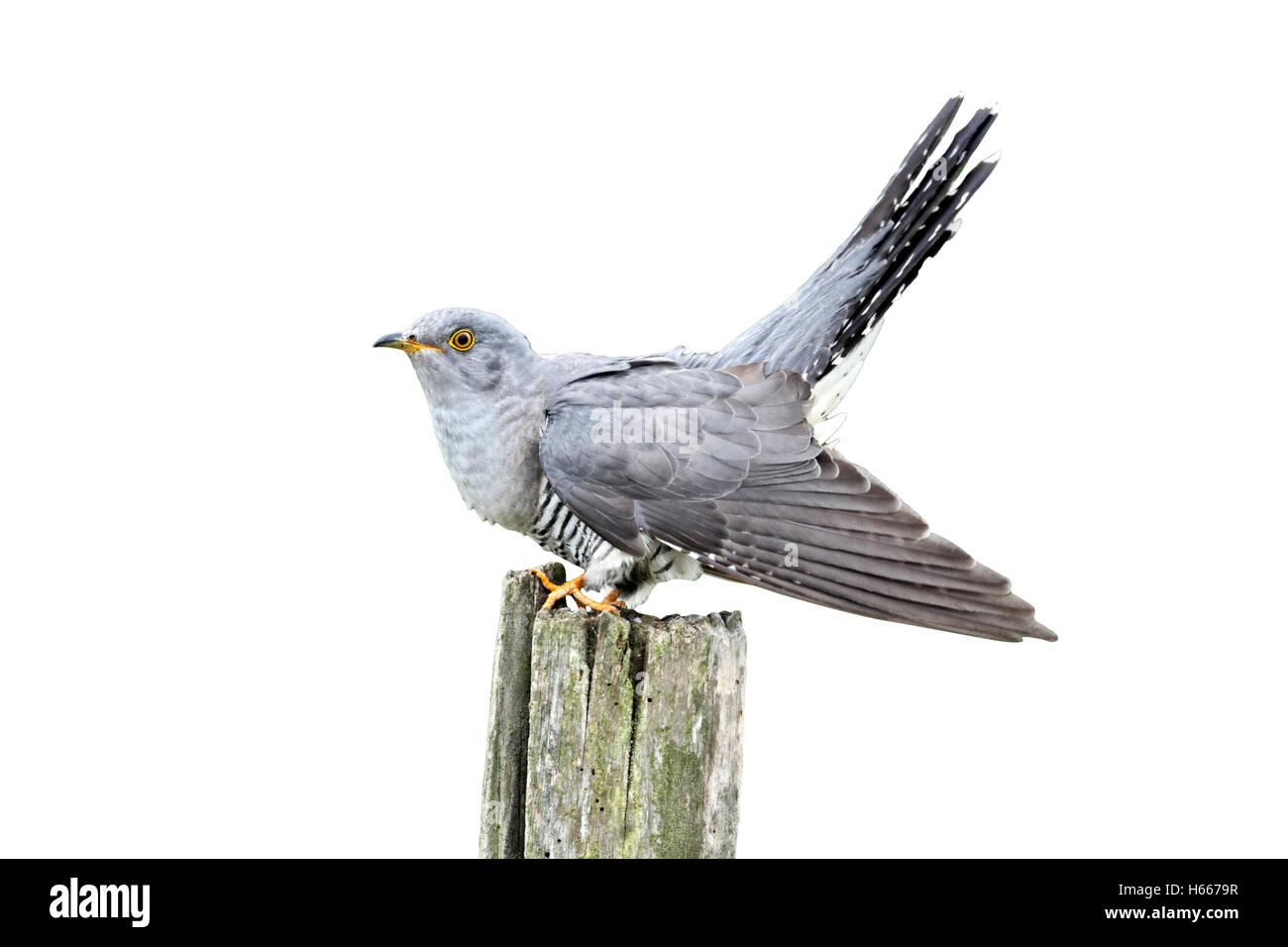 Cuckoo, Cuculus canorus, single bird on post, Midlands, April 2011 Stock Photo