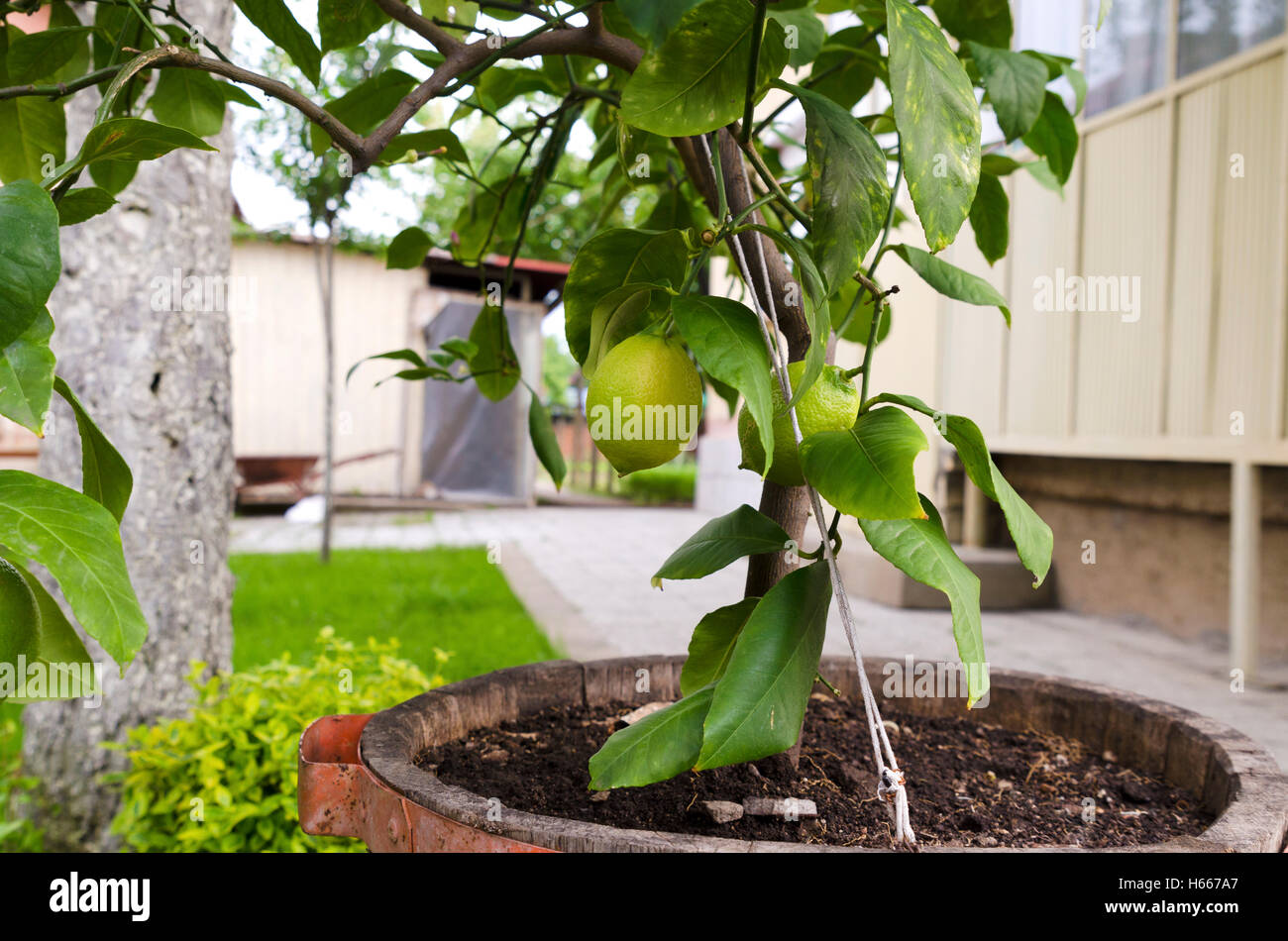 Lemon tree in a pot - Stock Image