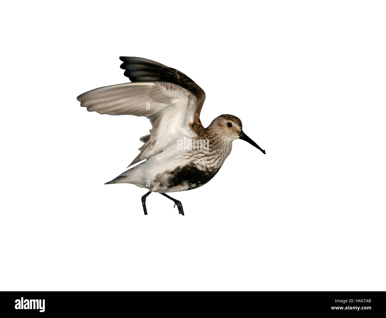 Dunlin, Calidris alpina, single bird in water, South Uist, Hebrides, Scotland - Stock Image