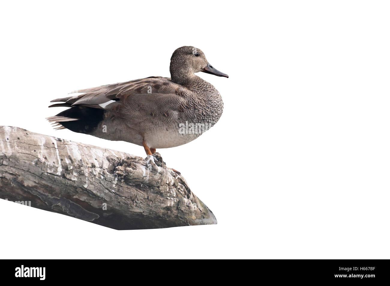 Gadwall, Anas strepera, single male by water, Hungary, May 2016 - Stock Image