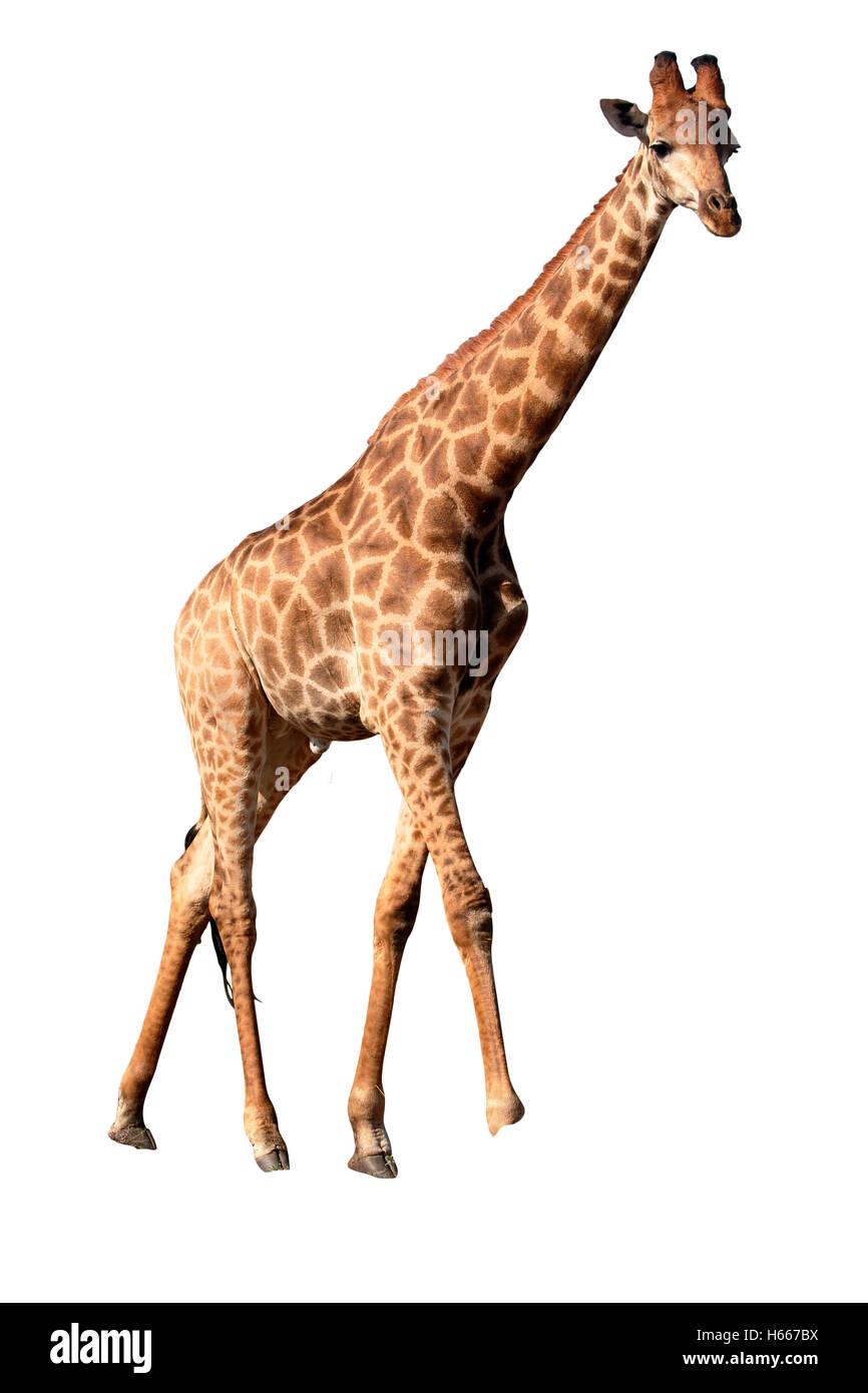 Giraffe, Giraffa camelopardalis, single mammal, Namibia, August 2016 - Stock Image
