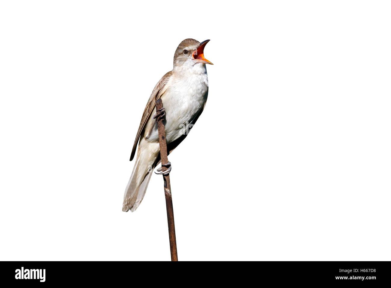 Great-reed warbler, Acrocephalus arundinaceus, single bird on reed singing, Bulgaria, June 2012 Stock Photo