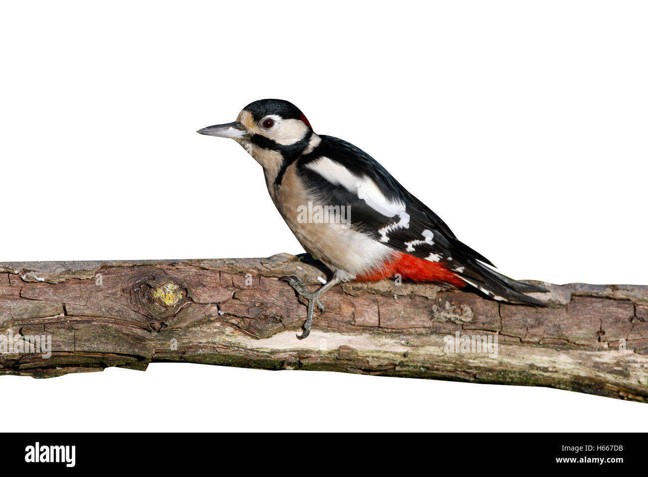 Great spotted woodpecker, Dendrocopos major, male, Midlands, winter - Stock Image