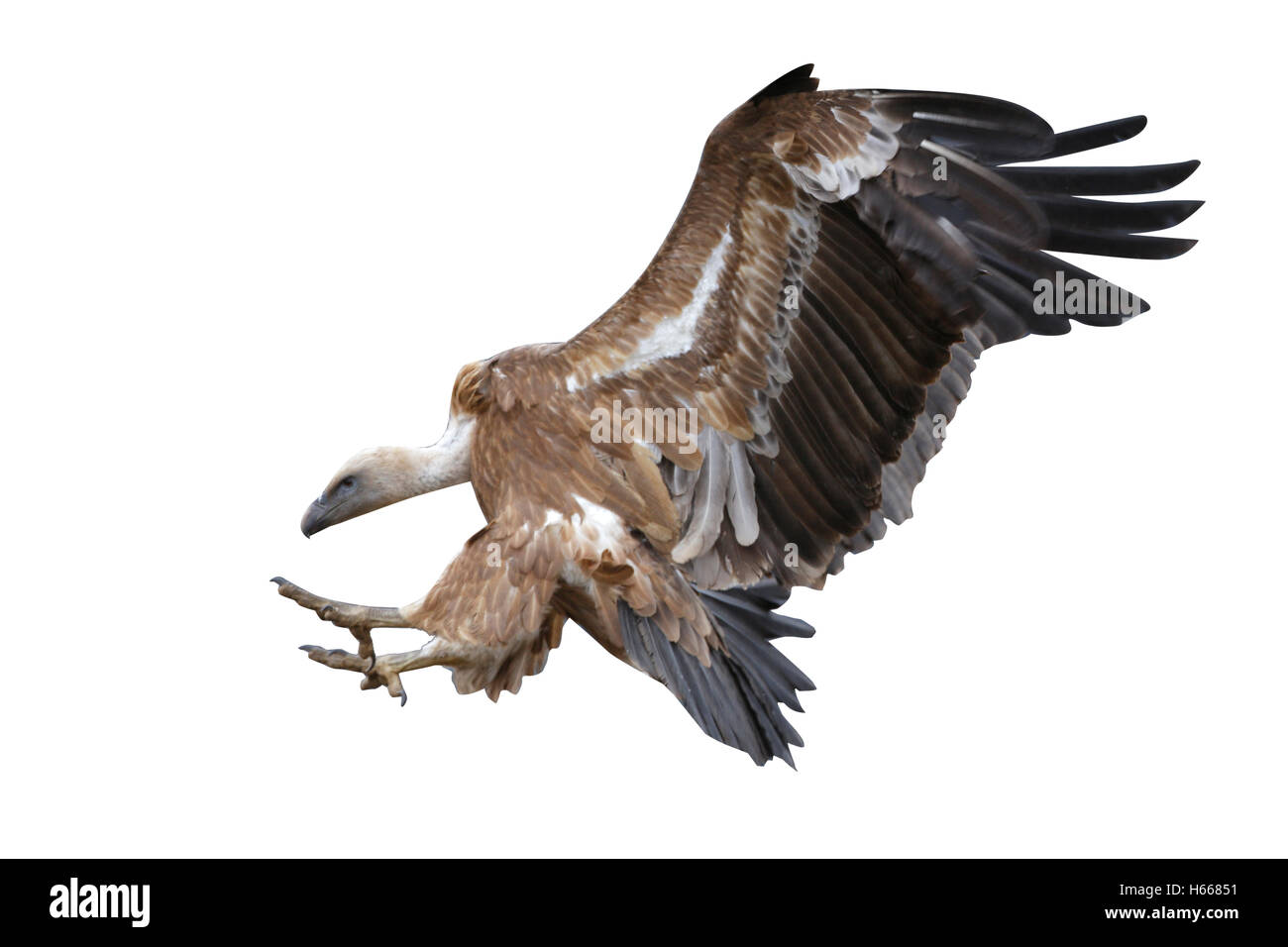 Eurasian griffon vulture, Gyps fulvus, flight, Spain, winter Stock Photo