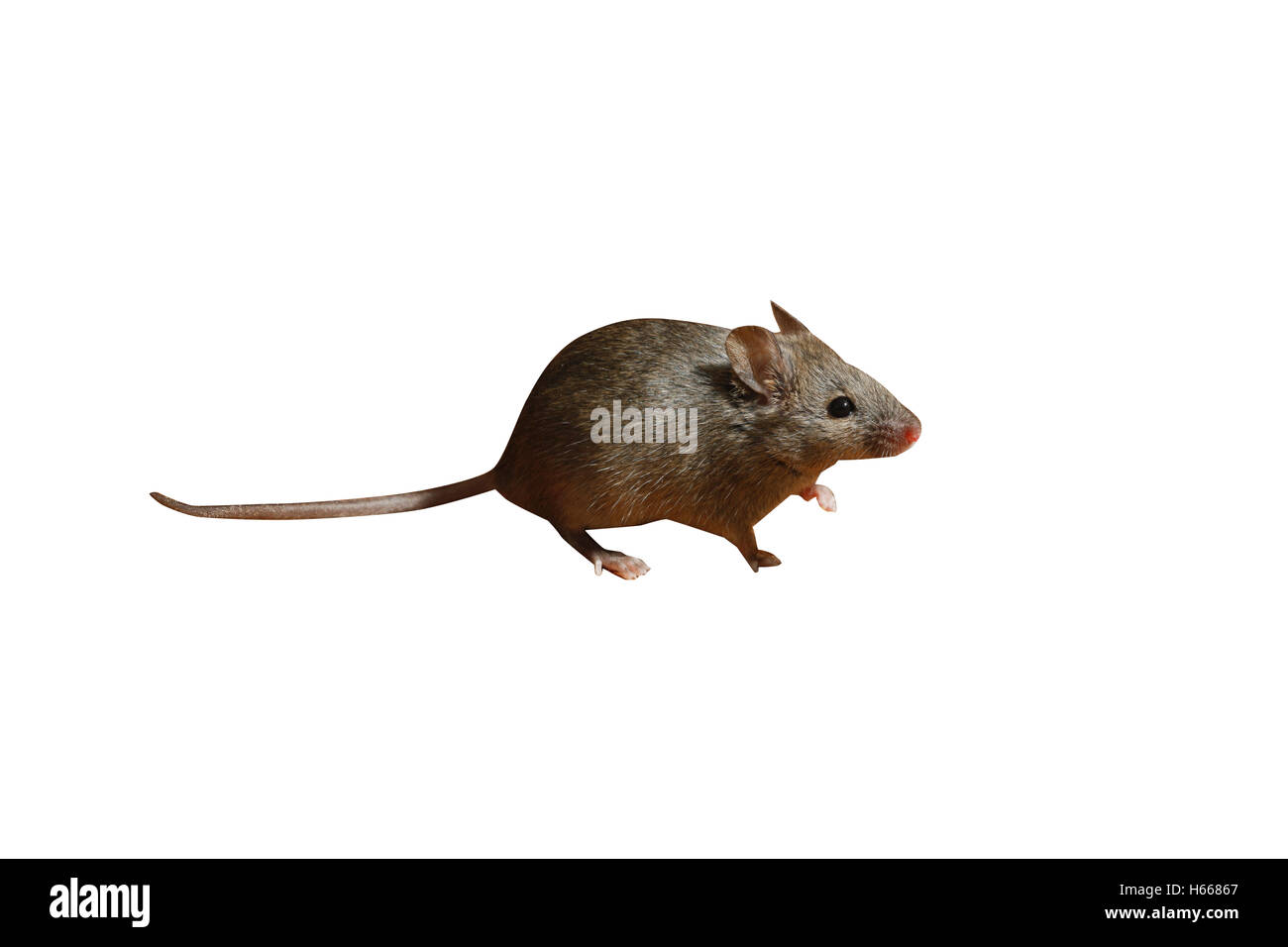 House mouse, Mus musculus, Midlands, UK - Stock Image