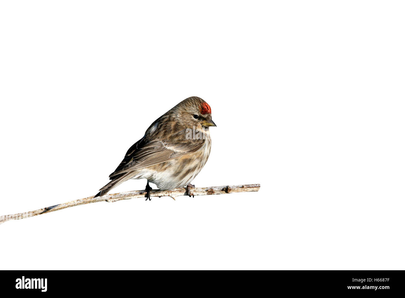 Lesser redpoll, Carduelis cabaret, single male on branch,        Coll, Hebrides, Scotland - Stock Image