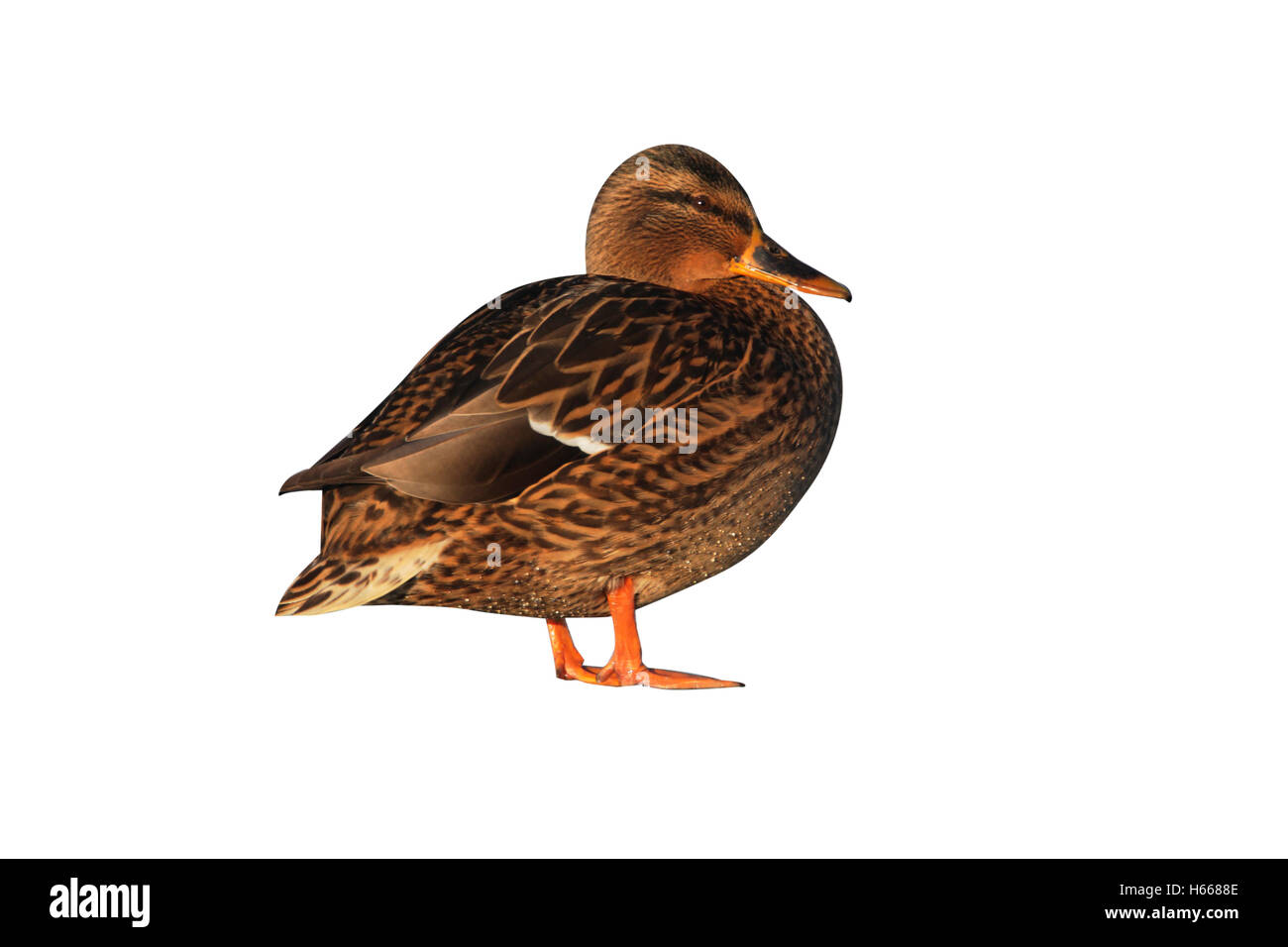 Mallard, Anas platyrhynchos, a single female standing on ice by water, Dumfries, Scotland, winter 2009 - Stock Image