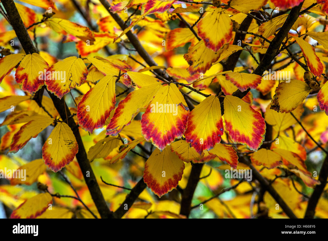 Witch-hazel, Hamamelis intermedia autumn color leaves Stock Photo: 124299258 - Alamy