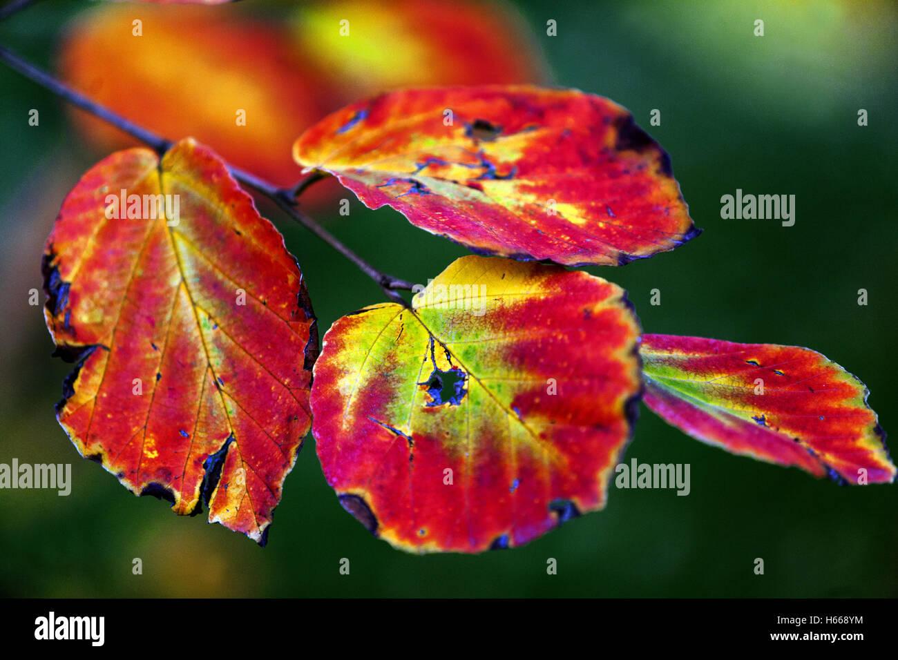 Witch-hazel, Hamamelis mollis  'Lombart´s Weeping' - Stock Image