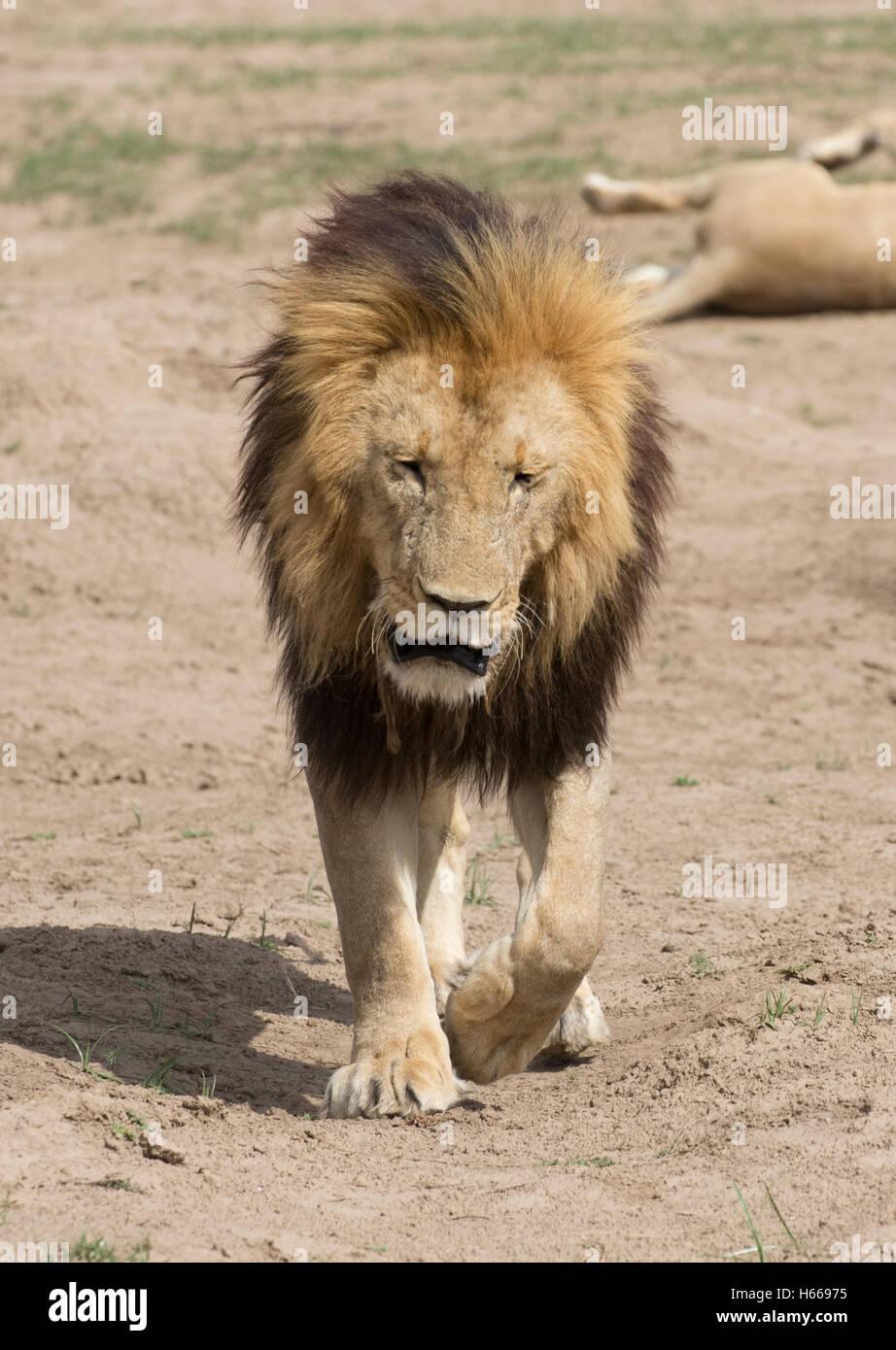 Solitary male large maned African lion walking Masai Mara Kenya - Stock Image