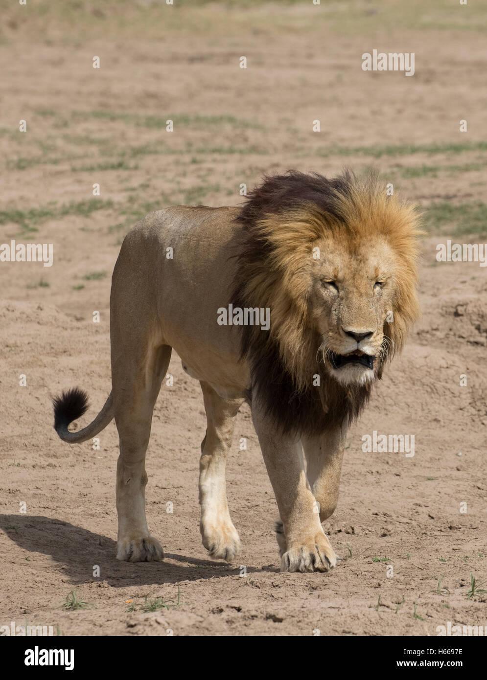 Solitary male large maned African lion walking Panthera leo Masai Mara Kenya - Stock Image