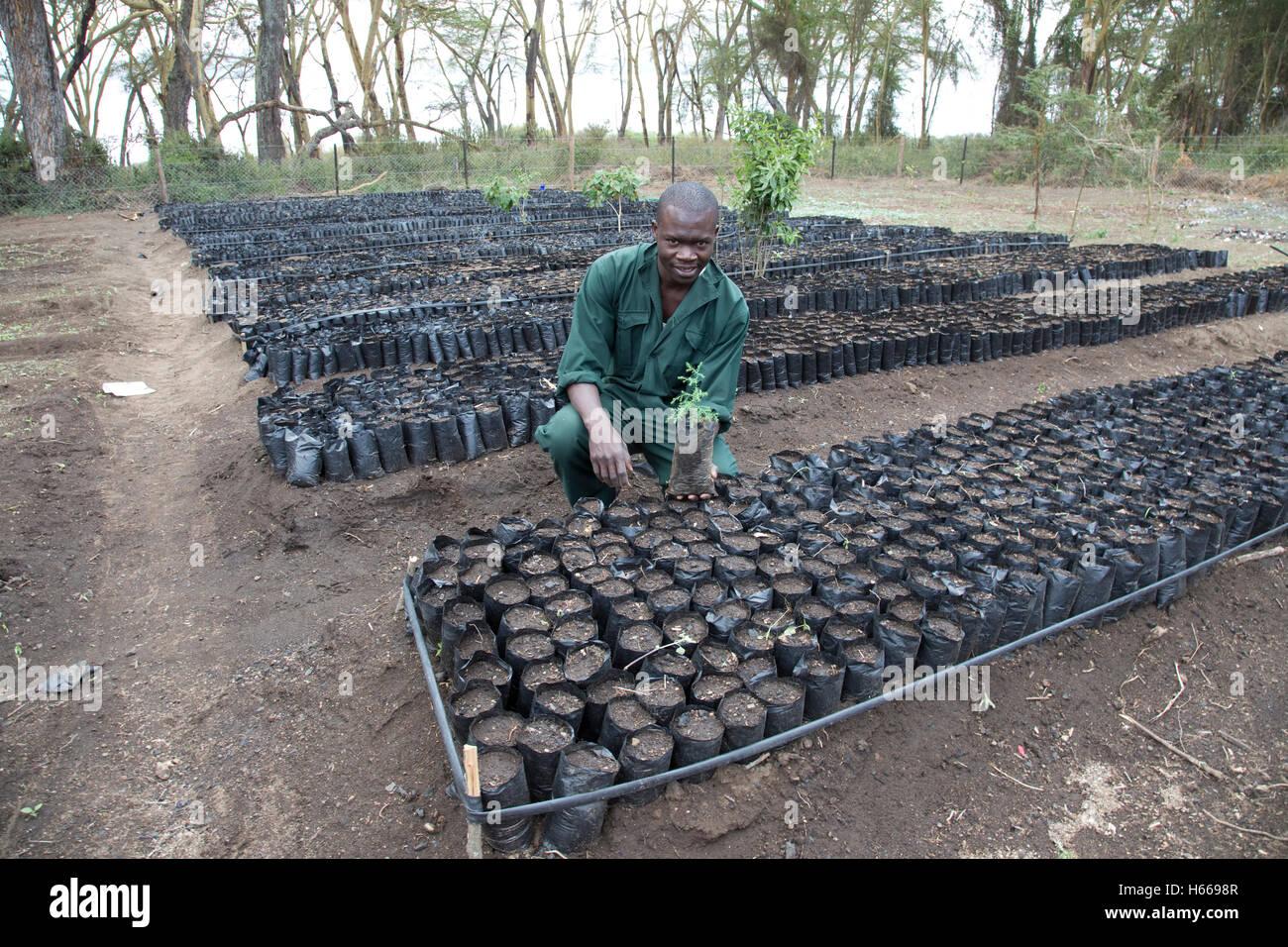 African gardener with young tree seedling in tree nursery CES Elsamere Lake Naivasha Kenya - Stock Image