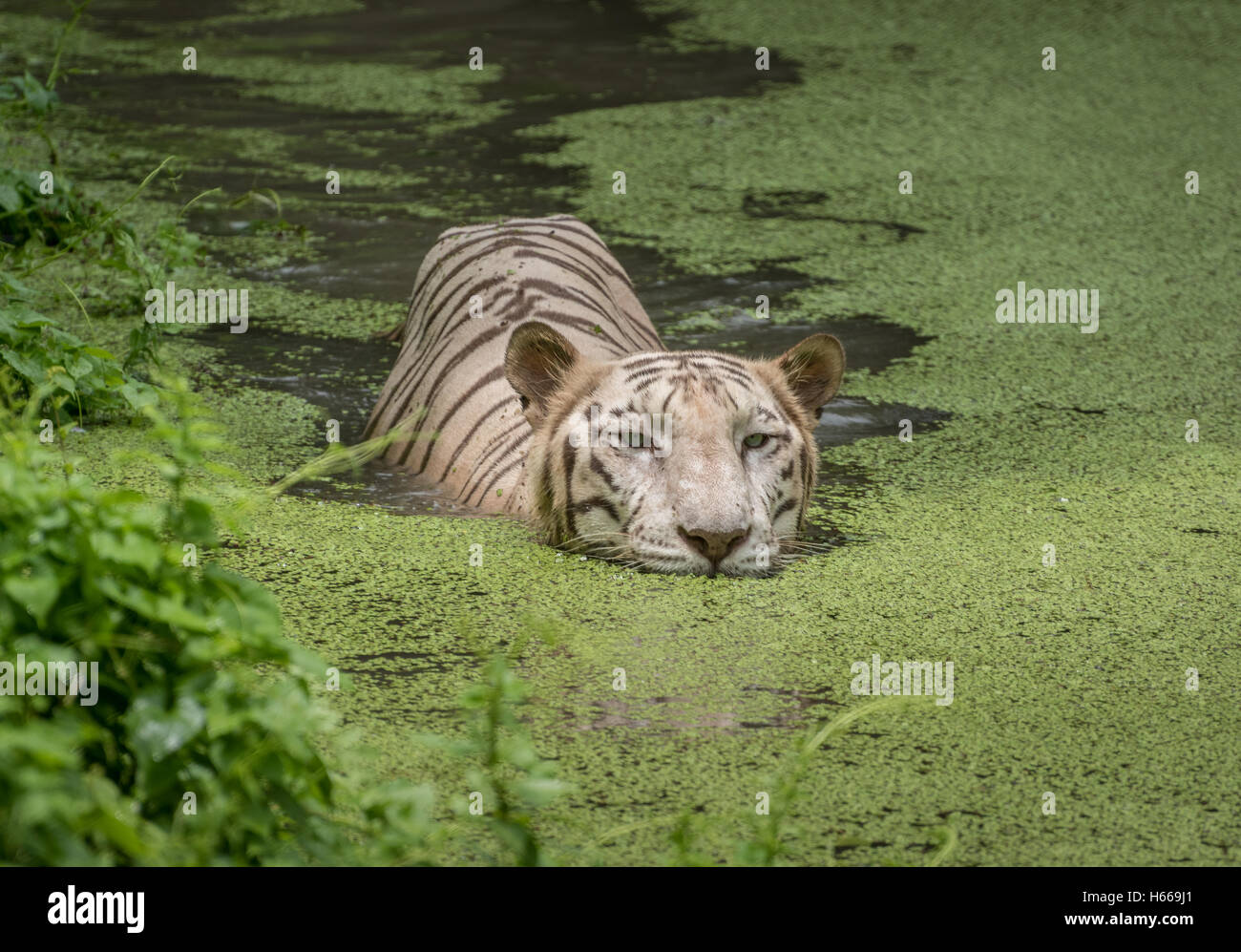 White tiger swims in the water of a marshy swamp. White Bengal tigers are considered as endangered species. Stock Photo