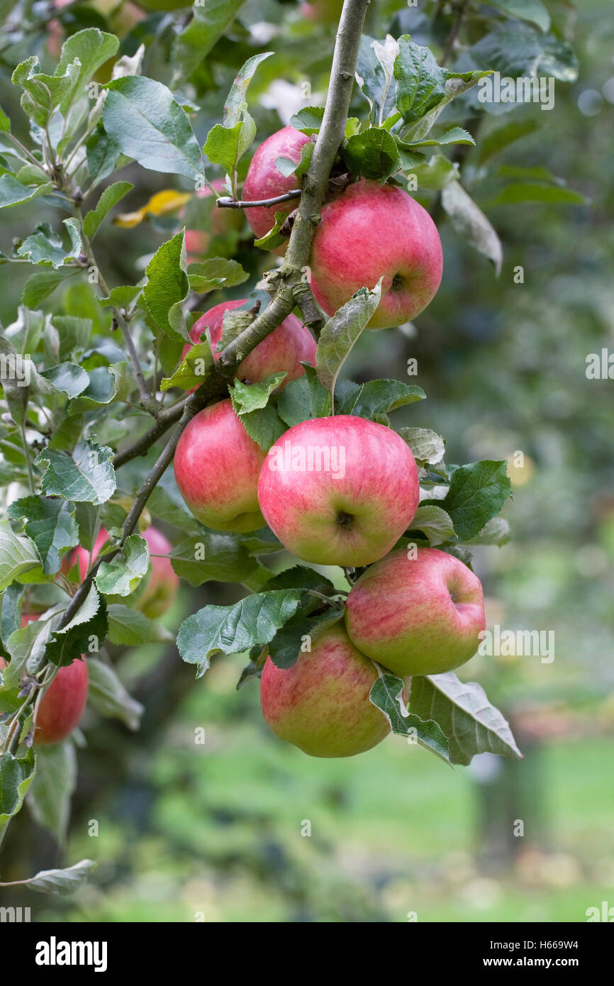 Malus domestica 'Bowdens Seedling'. Apples growing in an English Orchard. - Stock Image