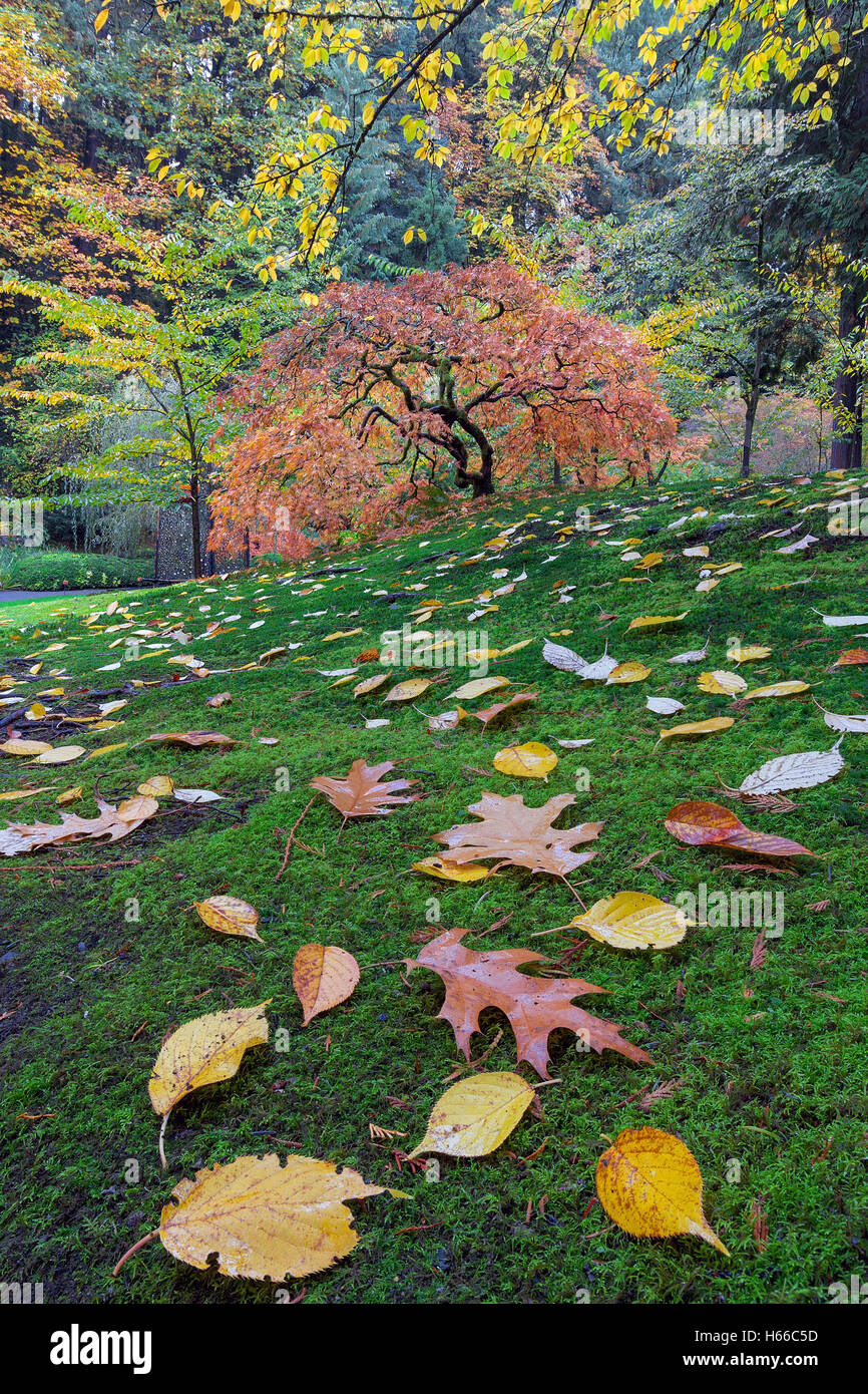Japanese maple tree on a green mossy slope with fall foliage in ...