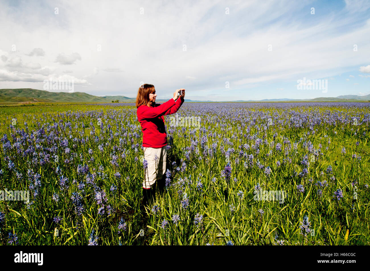 Woman photographing camas meadow with a smartphone at Centennial Marsh Idaho - Stock Image