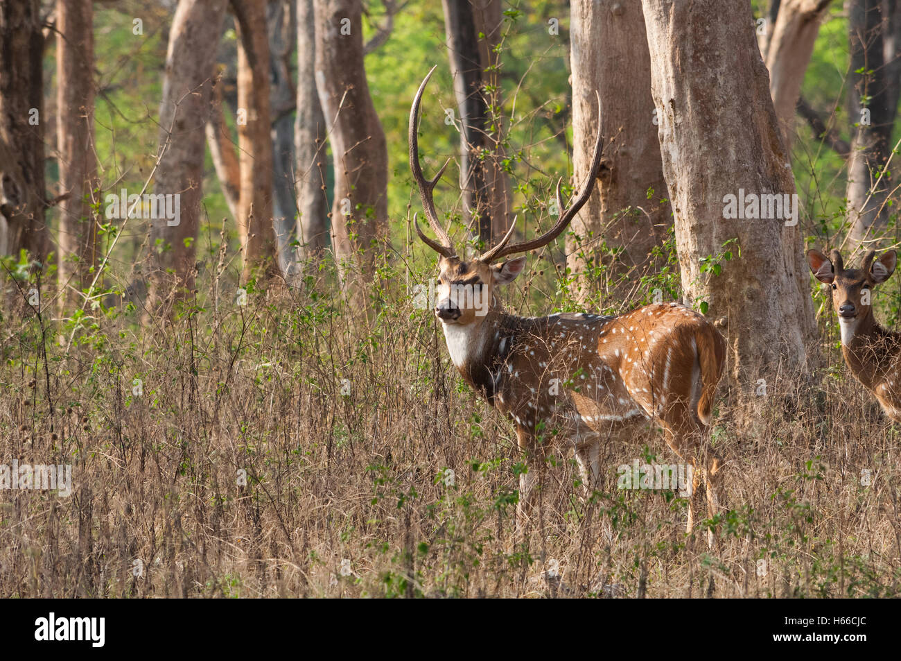 Spotted Deer (Axis axis) - Stock Image
