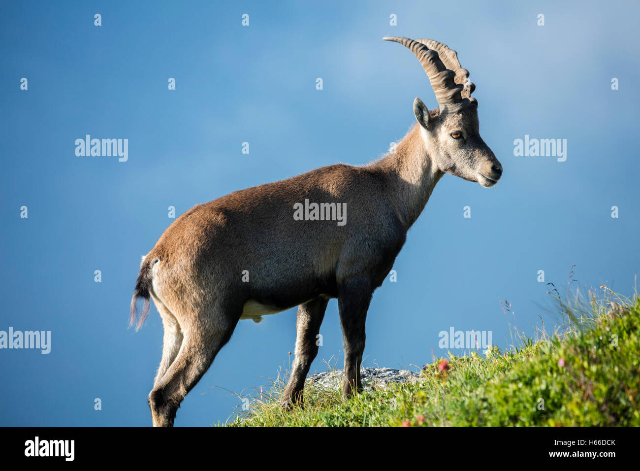 Male ibex in the Chamonix Valley, Haute Savoie, French Alps, France. - Stock Image