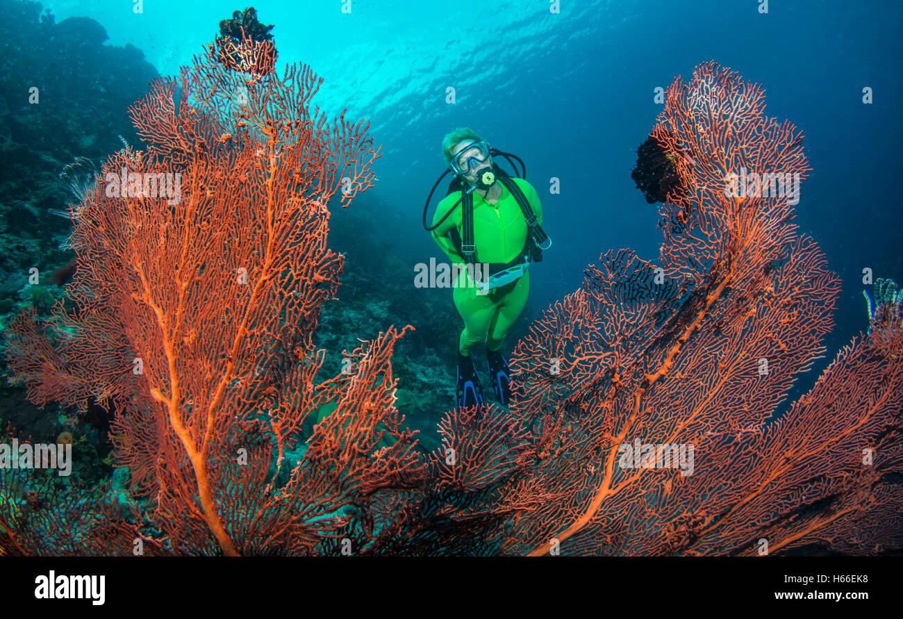 Scuba diver explores coral reef with gorgonian corals - Stock Image