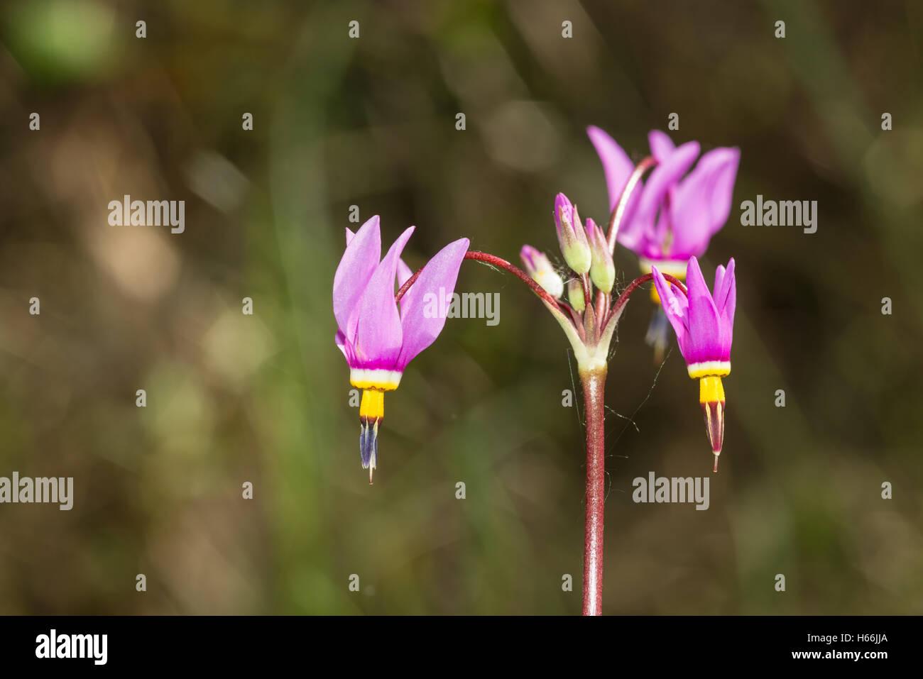 Saline shootingstar, Dodecatheon pulchellum, growing alongside a calcareous bog in Alberta, Canada - Stock Image