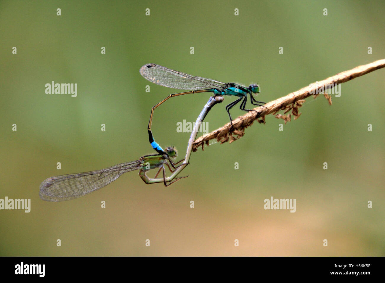 Two blue green dragonflies mating - Stock Image