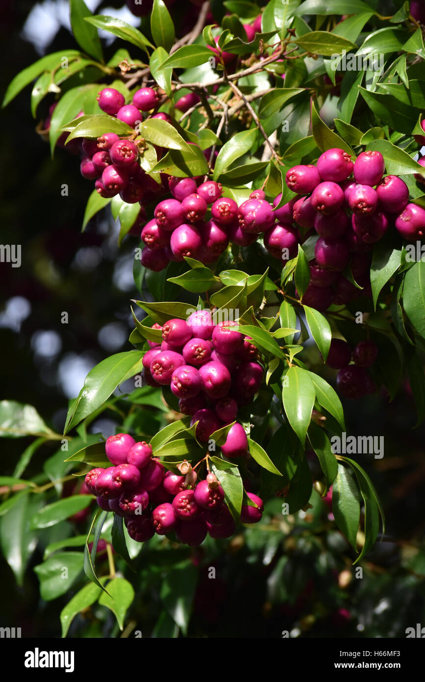 Small Purple Berries Growing In Clusters Stock Photo 124308327