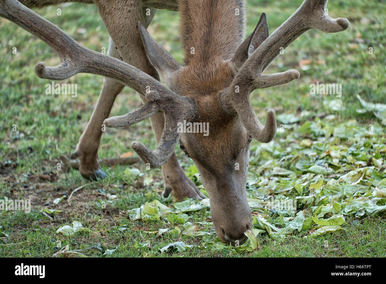 A stag eating leaves of the ground Stock Photo