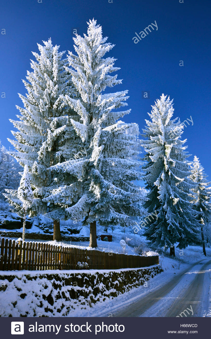 The old spruces (Picea ) covered with a thick layer of rime, January - Stock Image